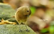 树林里的小精灵 春天可爱小鸟壁纸 北红尾鸲 灵气小鸟图片壁纸 树林里的小精灵可爱小鸟 动物壁纸