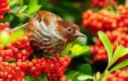 树林里的小精灵 春天可爱小鸟壁纸 纹翼画眉鸟图片 艳丽小鸟图片壁纸 树林里的小精灵可爱小鸟 动物壁纸