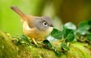 树林里的小精灵 春天可爱小鸟壁纸 绣眼画眉鸟图片 灵气小鸟图片壁纸 树林里的小精灵可爱小鸟 动物壁纸