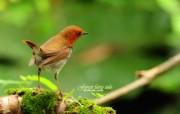 树林里的小精灵 春天可爱小鸟壁纸 日本歌鸲 春天林间小鸟图片壁纸 树林里的小精灵可爱小鸟 动物壁纸