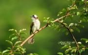 树林里的小精灵 春天可爱小鸟壁纸 白头鹎 绿叶树枝小鸟图片壁纸 树林里的小精灵可爱小鸟 动物壁纸