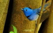 树林里的小精灵 春天可爱小鸟壁纸 蓝色小鸟 黑枕蓝�l小鸟图片壁纸 树林里的小精灵可爱小鸟 动物壁纸