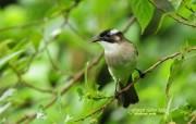 树林里的小精灵 春天可爱小鸟壁纸 白头鹎 春天小鸟图片壁纸 树林里的小精灵可爱小鸟 动物壁纸