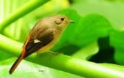 树林里的小精灵 春天可爱小鸟壁纸 黄尾鸲 灵气小鸟图片壁纸 树林里的小精灵可爱小鸟 动物壁纸