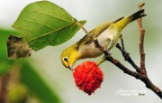 树林里的小精灵 春天可爱小鸟壁纸 暗绿绣眼鸟 觅食小鸟图片壁纸 树林里的小精灵可爱小鸟 动物壁纸