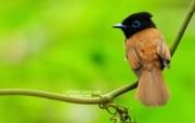 树林里的小精灵 春天可爱小鸟壁纸 寿带鸟 可爱灵气小鸟图片壁纸 树林里的小精灵可爱小鸟 动物壁纸