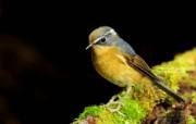 树林里的小精灵 春天可爱小鸟壁纸 白眉林鸲 灵气可爱小鸟图片壁纸 树林里的小精灵可爱小鸟 动物壁纸