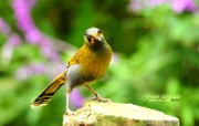 树林里的小精灵 春天可爱小鸟壁纸 薮鸟 黄胸薮眉小鸟 树林小鸟图片壁纸 树林里的小精灵可爱小鸟 动物壁纸