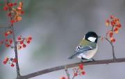 四季鸟类壁纸第四辑 动物壁纸