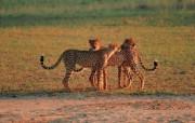 速度与力量豹 动物壁纸