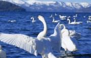 天鹅之冬壁纸 动物壁纸