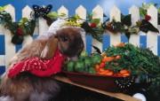 兔子 动物壁纸