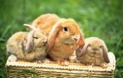 兔子写真 动物壁纸