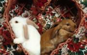 兔子写真特辑 壁纸1 兔子写真特辑 动物壁纸
