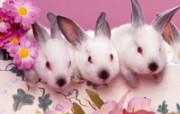 兔子写真特辑 壁纸22 兔子写真特辑 动物壁纸