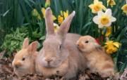 兔子写真特辑 壁纸27 兔子写真特辑 动物壁纸