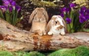 兔子写真特辑 壁纸29 兔子写真特辑 动物壁纸