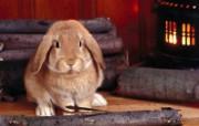兔子写真特辑 壁纸30 兔子写真特辑 动物壁纸