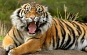 王者之气!老虎写真壁纸 动物壁纸