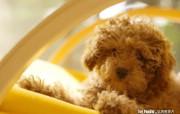 玩具贵宾犬壁纸 Toy Poodle 动物壁纸