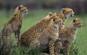 Webshots豹子壁纸 动物壁纸