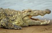 Webshots动物篇鳄鱼 动物壁纸