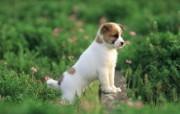 可爱小狗狗壁纸 凝视远方 公园小狗狗壁纸 小狗狗的郊游 动物壁纸