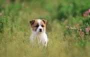 可爱小狗狗壁纸 可爱小狗狗壁纸 深情眼神 小狗狗的郊游 动物壁纸