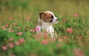 可爱小狗狗壁纸 可爱小狗狗壁纸 花丛里的狗狗 小狗狗的郊游 动物壁纸