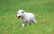 可爱小狗狗壁纸 狗狗草地散步 胖胖小狗宝宝图片 小狗狗的郊游 动物壁纸