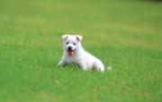 可爱小狗狗壁纸 可爱小狗狗壁纸 狗狗草地漫步 小狗狗的郊游 动物壁纸