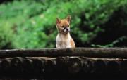 可爱小狗狗壁纸 可爱小狗狗壁纸 独木桥上的狗狗 小狗狗的郊游 动物壁纸