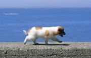 可爱小狗狗壁纸 狗狗岸边散步 胖嘟嘟的小狗宝宝图片 小狗狗的郊游 动物壁纸