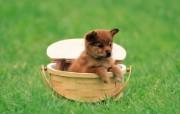 可爱小狗狗壁纸 可爱小狗狗壁纸 篮子里的小狗狗 小狗狗的郊游 动物壁纸