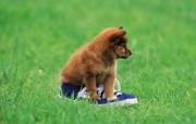 可爱小狗狗壁纸 可爱小狗狗壁纸 狗狗跟鞋子一样大 小狗狗的郊游 动物壁纸