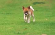 可爱小狗狗壁纸 可爱小狗狗壁纸 公园散步的小狗狗 小狗狗的郊游 动物壁纸