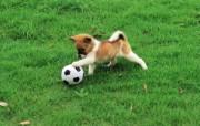可爱小狗狗壁纸 可爱小狗狗壁纸 狗狗玩足球 小狗狗的郊游 动物壁纸