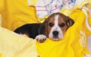 小狗写真 动物壁纸