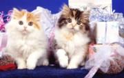 小猫写真壁纸特辑 动物壁纸