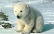 熊 动物壁纸