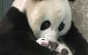 熊猫憨太可拘的国宝 动物壁纸