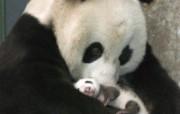 熊猫壁纸 动物壁纸