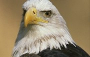 雄鹰展翅飞 动物壁纸