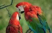 艳丽的鹦鹉 动物壁纸