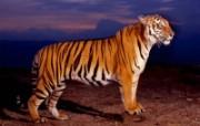 野生动物高清壁纸 1600x1200 壁纸3 野生动物高清壁纸 1 动物壁纸