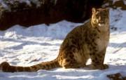 野性十足豹 动物壁纸