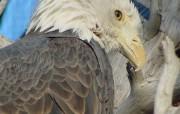 鹰 动物壁纸
