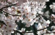 樱花烂漫第二辑 动物壁纸