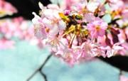 樱花烂漫第四辑 动物壁纸