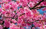 樱花烂漫第一辑 动物壁纸
